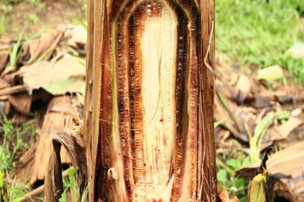 infeksi jamur fusarium pada tanaman pisang