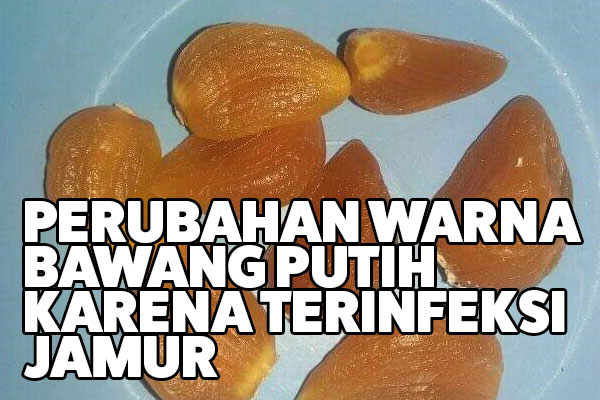 bawang putih terinfeksi jamur fusarium